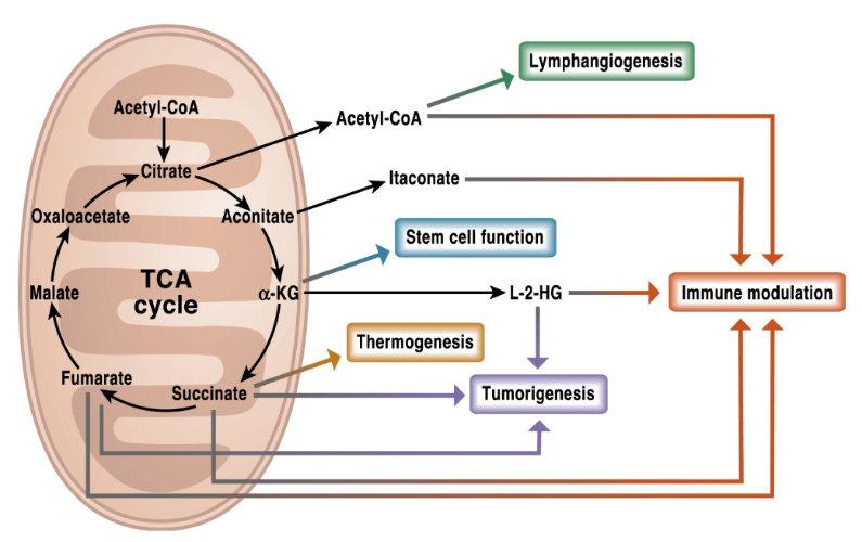 Hoe mitochondriën bepalend zijn voor ziekte en gezondheid