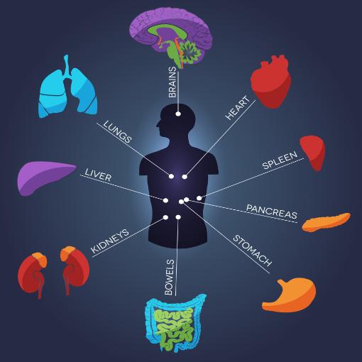 Enkele organen in het menselijk lichaam